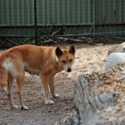 Schädelbruch! Vater rettet Kleinkind aus Maul eines Dingos (Foto)