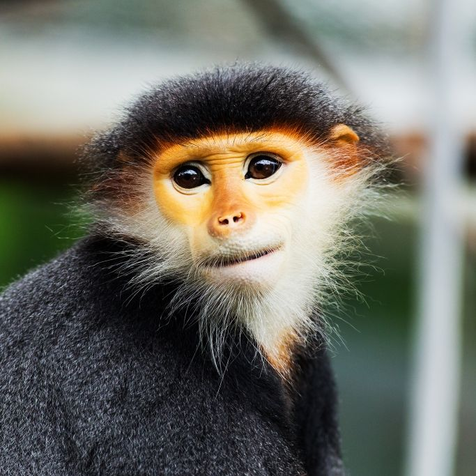 Männergruppe schlachtet Affen und isst sein rohes Gehirn (Foto)