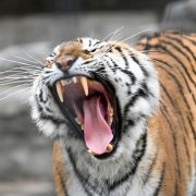Zoobesucherin schwer verletzt - Handyvideo zeigt Tigerattacke (Foto)