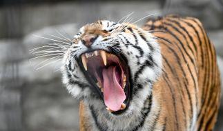Ein Tiger hat eine Zoobesucherin schwer verletzt. (Symbolbild) (Foto)