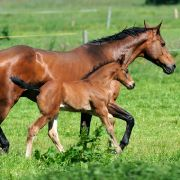 Tierhasser zerschneiden Pferd Genitalien - und misshandeln Stute (Foto)