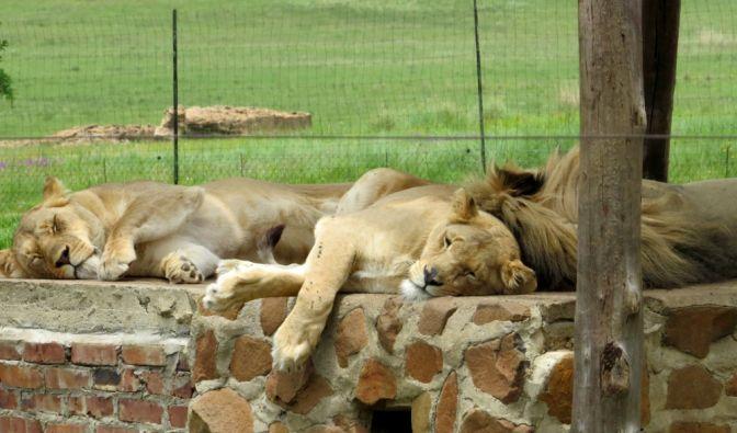 Löwenfarmen