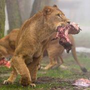 Löwen-Attacke auf Tierpfleger - DESHALB überlebte er den Angriff (Foto)