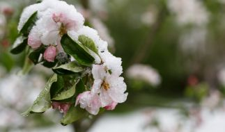 Bringen die Eisheiligen den Winter zurück? (Foto)