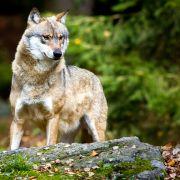 Der intelligente Problemwolf ist zurück! Wird er zum Abschuss freigegeben? (Foto)