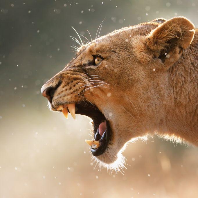 Kopfhaut abgerissen! Löwe skalpiert Mädchen (4) (Foto)