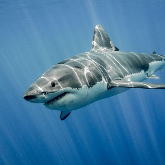 65-jähriger Schwimmer von Hai getötet (Foto)