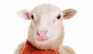Müssen wir uns vor der Schafskälte fürchten? (Foto)