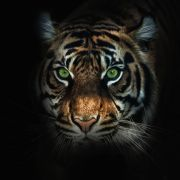 Tiger reißt Mann beide Arme ab (Foto)