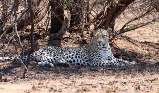 In einem bei Touristen beliebten Nationalpark in Südafrika hat ein Leopard ein Kleinkind zu Tode gebissen. (Foto)
