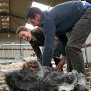 Kate Middleton packt selbst mit an: Die Herzogin von Cambridge hilft beim Schafscheren im Rahmen eines Besuchs in der Grafschaft Cumbria.