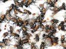 Insekten-Horror in Europa