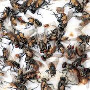 Tausende Fliegen und Heuschrecken terrorisieren Bevölkerung (Foto)