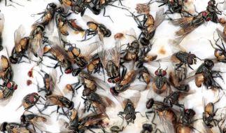 Ist ein Bauer schuld an der Fliegen-Invasion in Russland? (Foto)