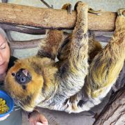 Faultier Paula, das weltweit älteste in einem Zoo lebende Zweifingerfaultier, feiert seinen 50. Geburtstag.