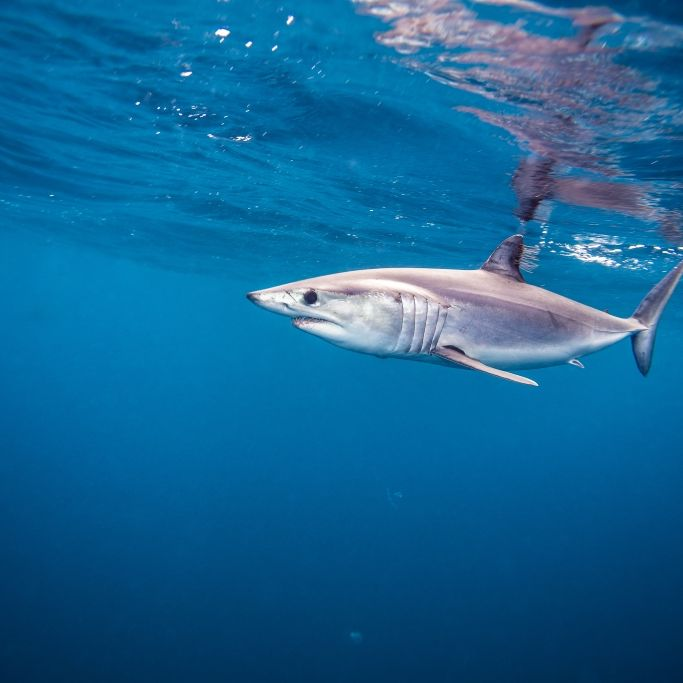 Hai-Alarm an Mittelmeerküste! DAS müssen Touristen wissen (Foto)