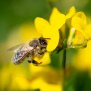 DAS sind die katastrophalen Auswirkungen vom Bienensterben! (Foto)