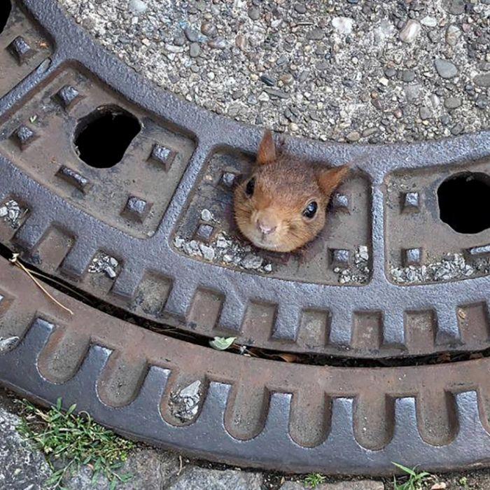 Eichhörnchen eingeklemmt! Feuerwehr muss mit Gullydeckel zum Tierarzt (Foto)