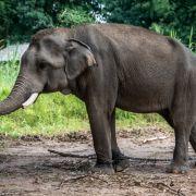 Wilder Elefant trampelt Mann (26) zu Tode (Foto)