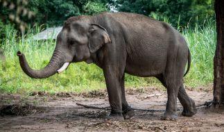 In Thailand haben wilde Elefanten einen Erntearbeiter getötet. (Foto)