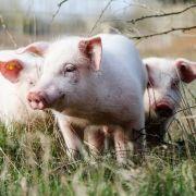 Abartig! Vater erwischt Sohn, wie er Schwein missbraucht (Foto)
