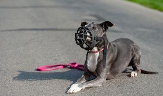 DerAmerican Staffordshire Terrier gilt in Deutschland als Kampfhund mit schwierigem Gemüt. (Symbolbild) (Foto)