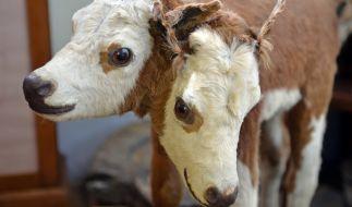 Mehrköpfige Tiere kommen öfter vor als man denken mag. Hier ein zweiköpfiges Kalb aus dem Museum in Waldenburg (Sachsen). (Foto)