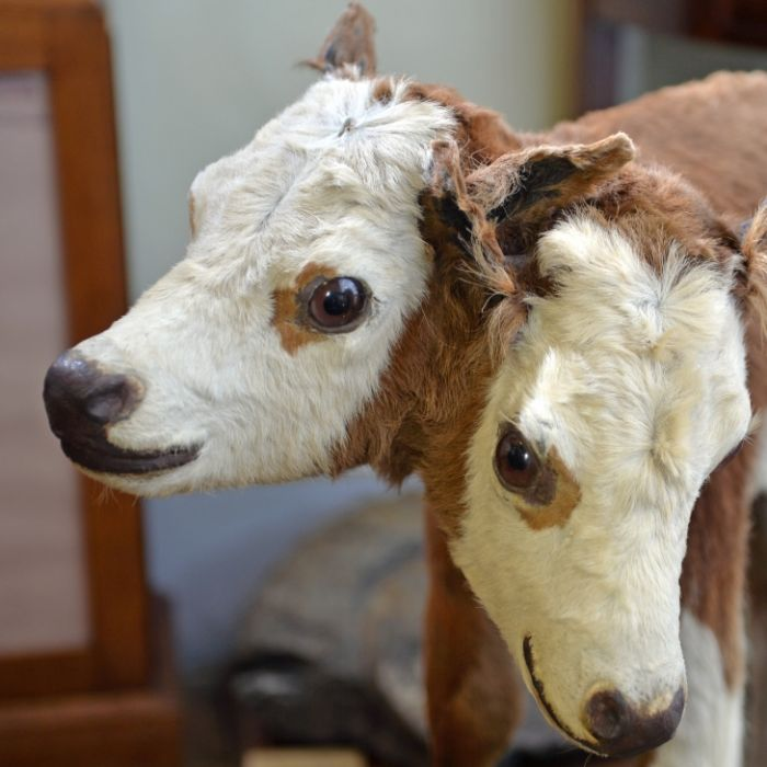 Zweiköpfige Kuh entsetzt katholische Gemeinde (Foto)