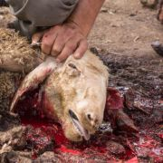 Vampir-Alarm? Ziegenleichen bis auf den letzten Tropfen Blut ausgesaugt (Foto)
