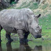Nashorn dreht durch! Bulle zerlegt Auto von Tierpflegerin (Foto)