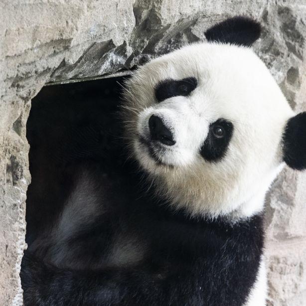 Doppeltes Baby-Glück! Panda-Dame Meng Meng ist Mama (Foto)