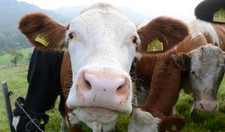 Ein Rentner wurde beim Sex mit einem Rindvieh erwischt. (Foto)