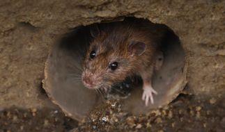 Der Rattenlungenwurm breitet sich in Europa aus. (Foto)