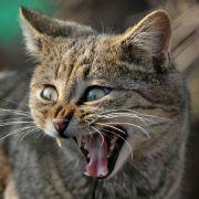 Katze frisst 30-Kilo-Känguru in Australien (Foto)