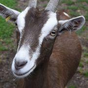 Tier soll ihn verführt haben! Mann hat Sex mit Ziege und tötet sie (Foto)