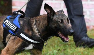 In einer Kaserne in Österreich wurde ein Hundeführer von zwei Belgischen Schäferhunden attackiert und zerfleischt (Symbolbild). (Foto)