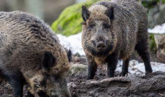 In Texas haben Wildschweine eine Frau zerfleischt. (Foto)