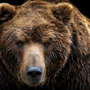 Bär bricht in Haus ein und frisst Mann (66) (Foto)