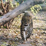 Junge (8) von Leopard zerfleischt - TOT! (Foto)