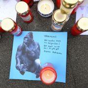 Mit Maschinenpistole! Polizist erschoss schwer verletzten Gorilla (Foto)