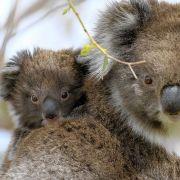 """Wiederholung von """"In den Wäldern der Koalas"""" online und im TV (Foto)"""