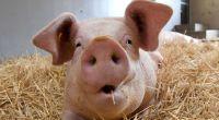 Ein Bauer wurde von seinen Schweinen gefressen. (Foto)