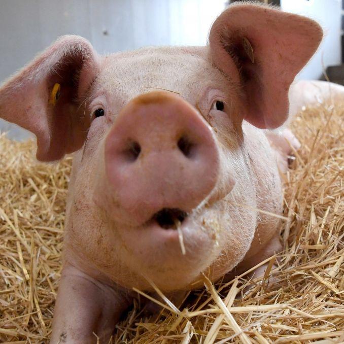 Bauer (72)bei lebendigem Leib von Schweinen gefressen (Foto)