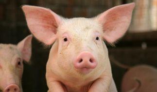 Das wehrlose Schwein wurde einfach in die Tiefe gestürzt. (Foto)