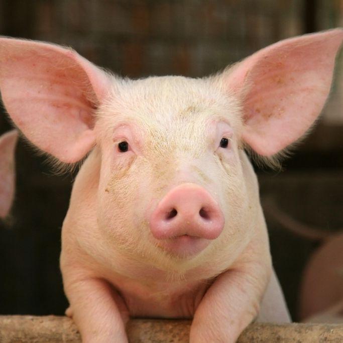 Schock-Video! Schwein an Bungee-Seil 68 Meter in die Tiefe geworfen (Foto)