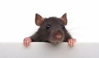 Am 25. Januar 2020 läuten die Chinesen das Jahr der Ratte ein. (Foto)