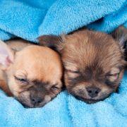 Abartig! Hundewelpen wurden Stimmbänder durchgeschnitten (Foto)