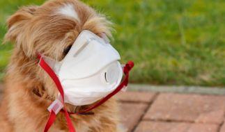 In Hongkong hat sich jetzt ein Hund mit dem Coronavirus infiziert. (Foto)