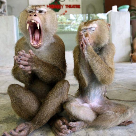 Horror-Angriff der Corona-Affen! Tiere stürmen ganze Stadt (Foto)