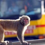 Blutige Attacke! Wild gewordener Affe verbeißt sich in Mädchen (Foto)